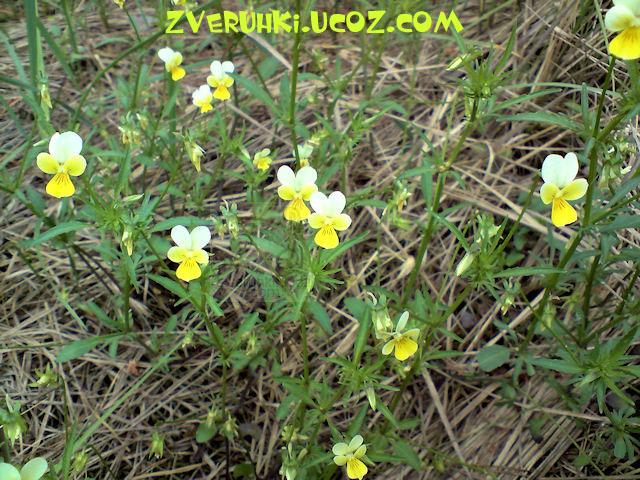 Фиалка полевая.VIОLА ARVENSIS MURR - 23 Мая 2010 - Живой мир